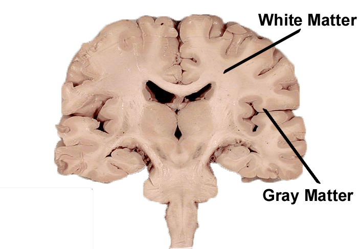 gray matter and white matter of the brain