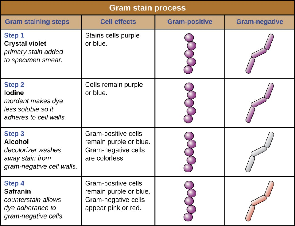 Table showing the steps of the Gram staining used to identify gram positive and gram negative bacteria.