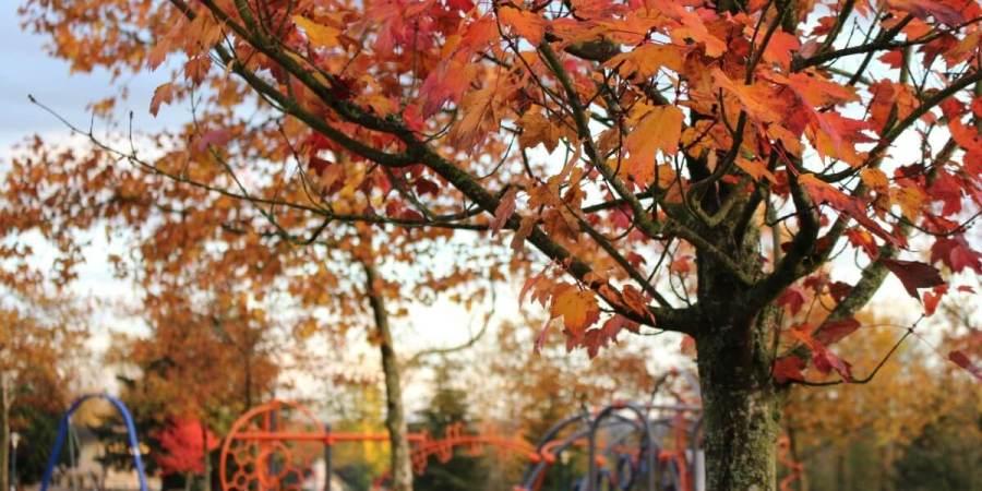 秋季紅楓中隱藏的基因秘密