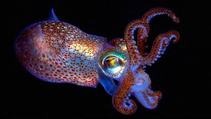 海中小精靈與共生於發光囊中的嬌客