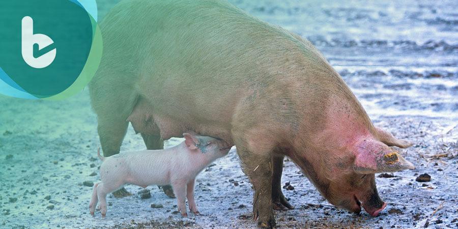 食用豬的另一個價值,是否能解決器官荒?