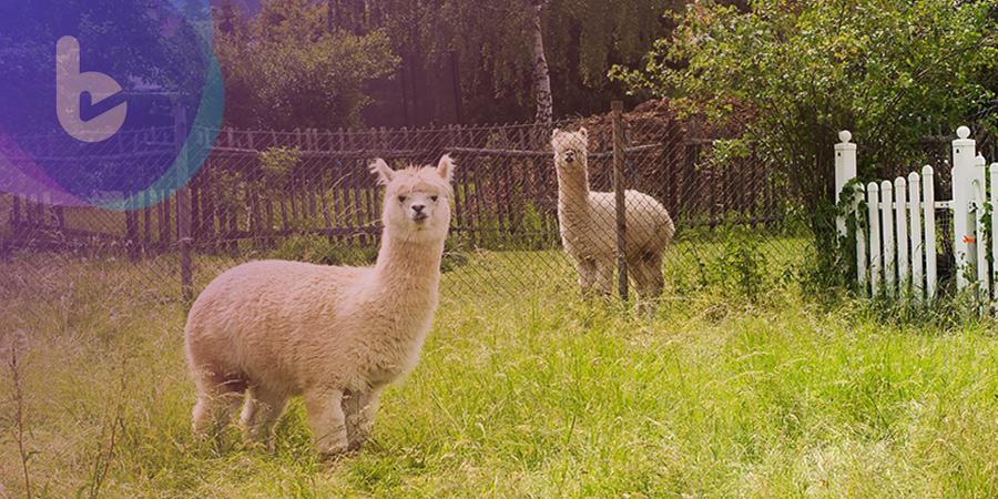 羊駝的免疫系統是抵抗癌症的新療法?!