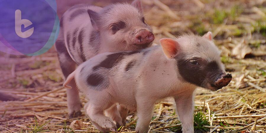 怎麼又來一個日本豬瘟?它跟大陸非洲豬瘟相同嗎?
