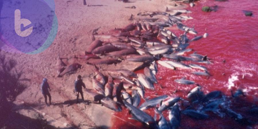氣憤!日本大規模獵殺海豚影片流出!科學家:千萬別吃,恐導致癲癇!