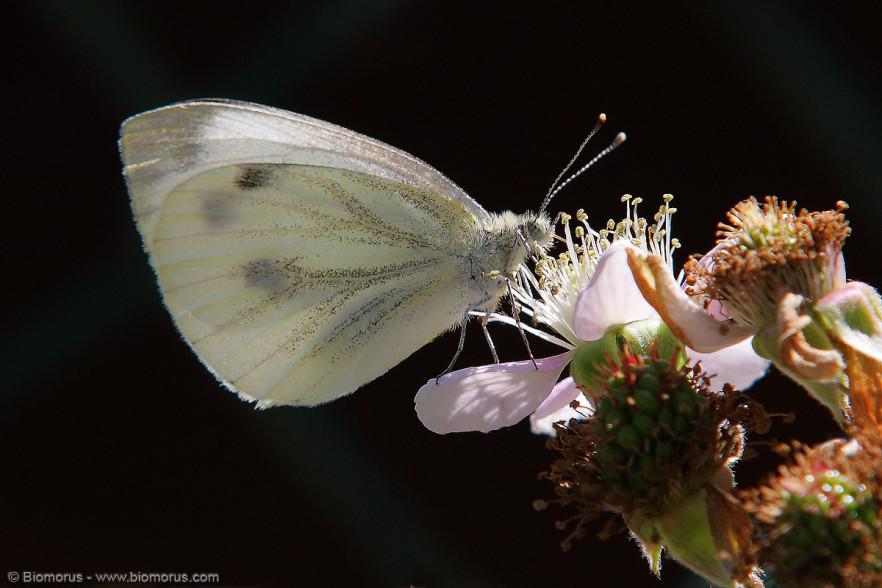 IMG_6384 – Profilo di farfalla (Pieris brassicae) - (Canon EOS 450D, Sigma 70-200 f/2.8 EX DG HSMII, 1/320 s, f/8.0, ISO200, tripode).