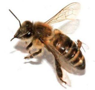 μελισσες ccd