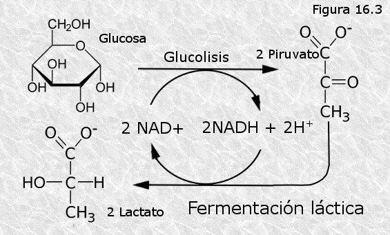 Desmontando mitos: las agujetas y los cristales de ácido láctico.