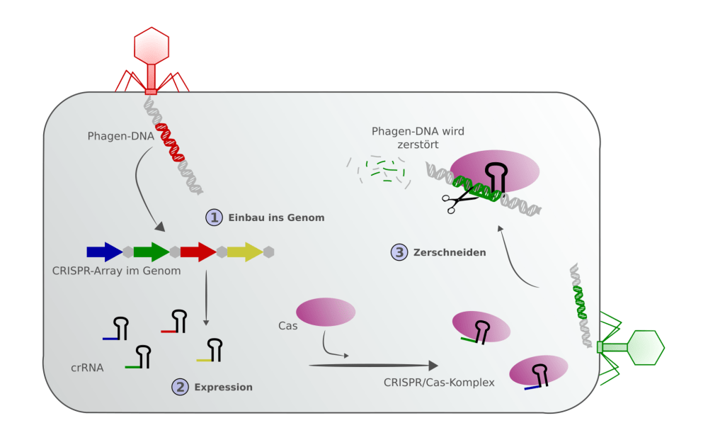 medium resolution of singleimage big view schematic showing the defence chain of a prokaryote with crispr cas integration of a phage genome into the crispr array and an