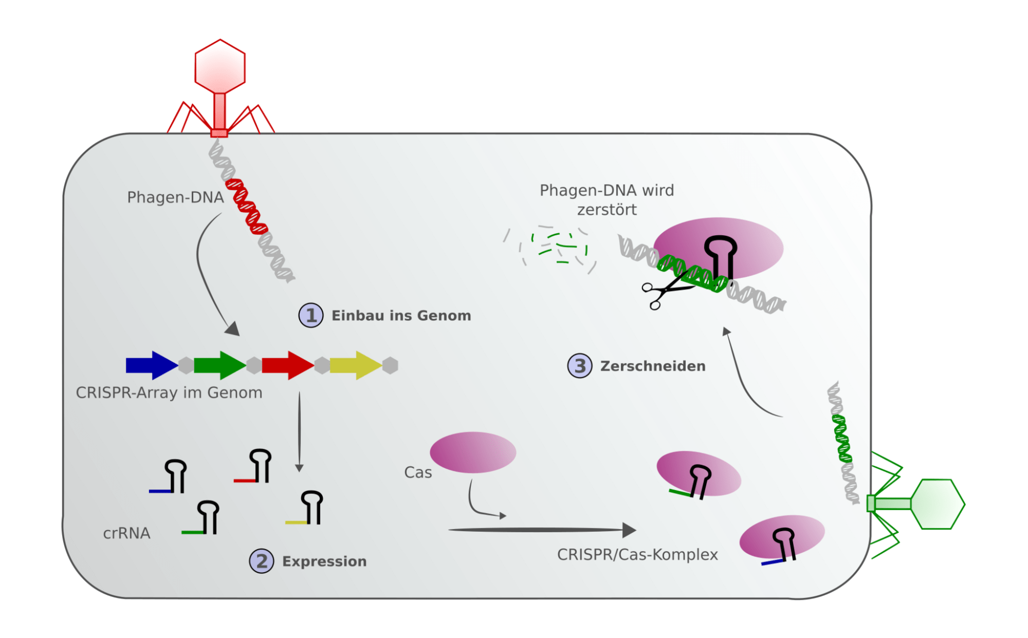 hight resolution of singleimage big view schematic showing the defence chain of a prokaryote with crispr cas integration of a phage genome into the crispr array and an