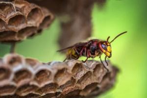 Comment et pourquoi éradiquer les nids de frelon asiatique ?