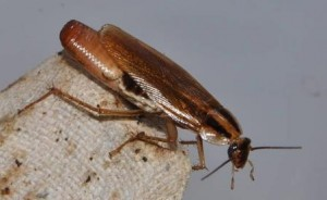 German Cockroach with Oothecae