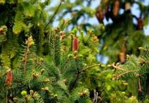 Dagli aghi di pino la bioplastica ecologica e sostenibile