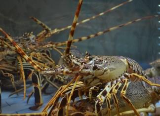 Aragoste, vietato immergerle vive nell'acqua bollente