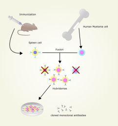 monoclonal antibody production [ 1064 x 1200 Pixel ]