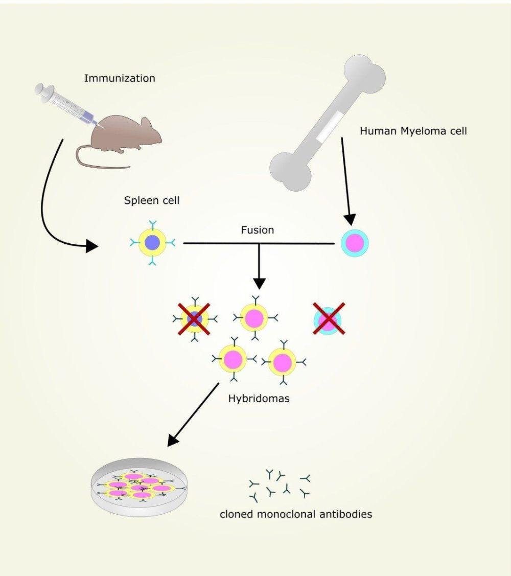 medium resolution of monoclonal antibody production
