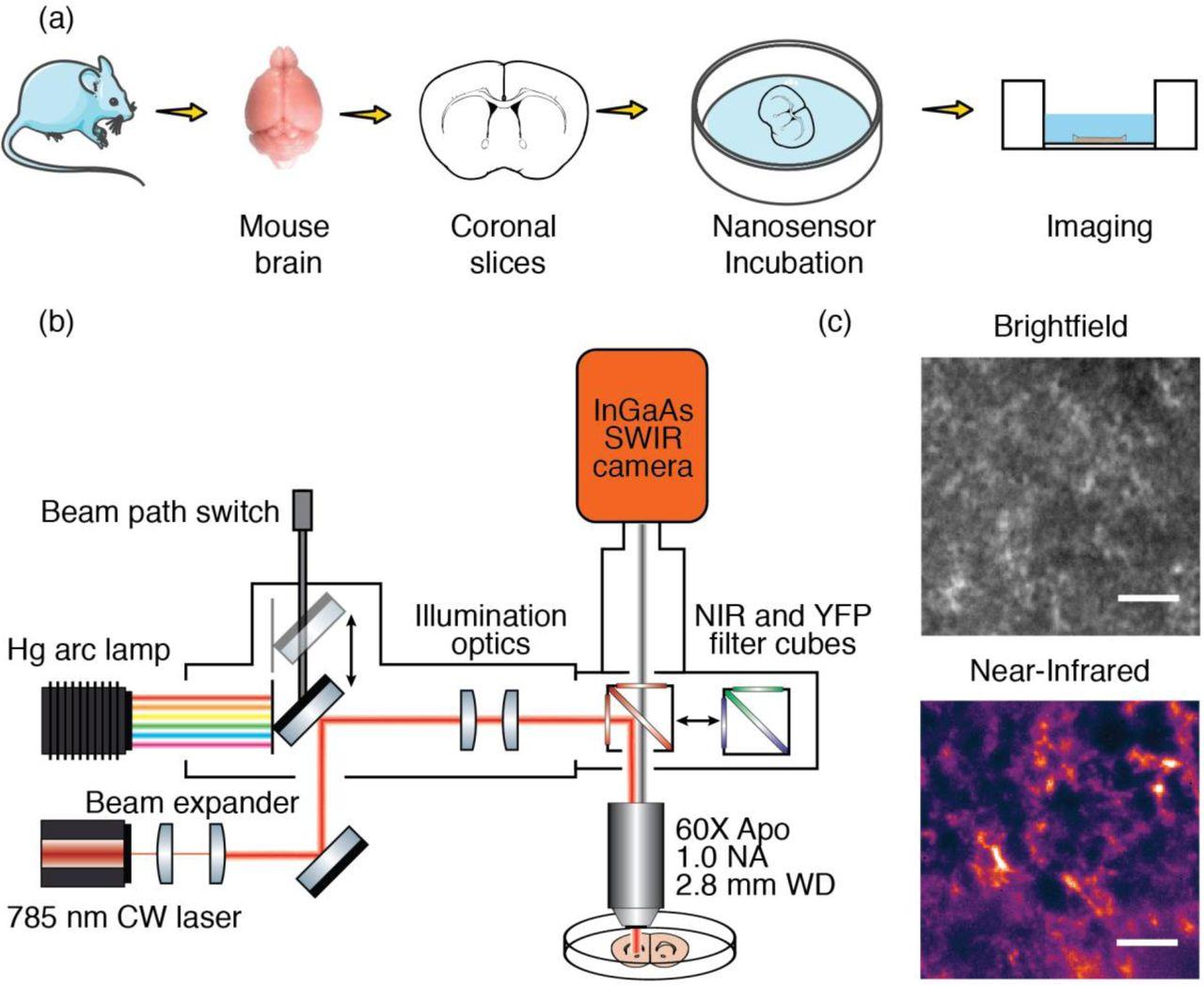 hight resolution of imaging striatal dopamine release using a non genetically encoded near infrared fluorescent catecholamine nanosensor biorxiv