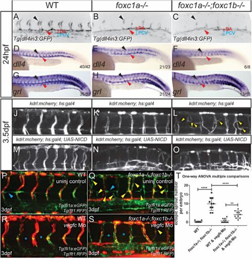 small resolution of  foxc1a and foxc1b differentially regulate angiogenesis from arteries on lowe wiring diagram chris craft wiring