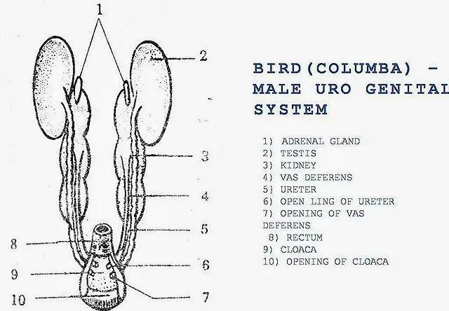 frog ureter diagram