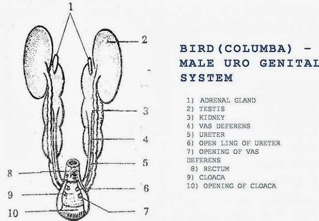 COMPARISION: Male Reproductive System of Bird, Rabbit and