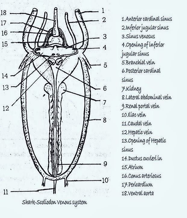 COMPARATIVE ANATOMY: VENOUS SYSTEM OF FROG AND FISH