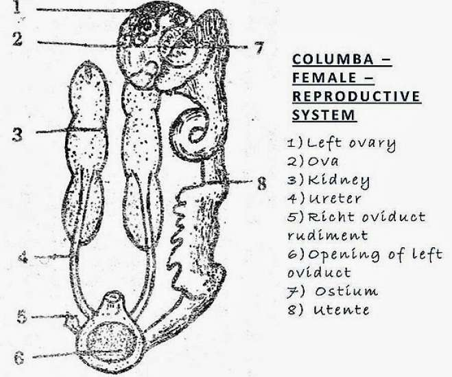 COMPARISION: Female Reproductive System of Bird, Rabbit
