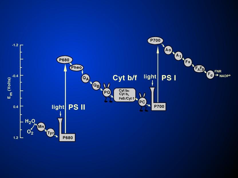 photosynthesis z scheme diagram hotpoint dryer timer wiring gov milestone chapter figure 9