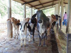 A produção diária aumentou de 2,6 litros por vaca para 15 litros. Gutemberg passou a alimentar menos vacas e a produzir mais leite.