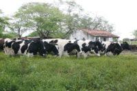 Pecuária leiteira e derivados lácteos serão tema do Enel. Foto: Moraes Neto