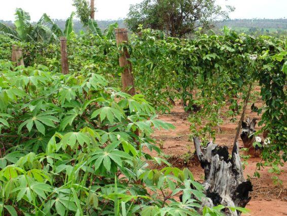 Foto de 2014 mostra o início do cultivo de mandioca e a primeira tentativa de produção de maracujá.