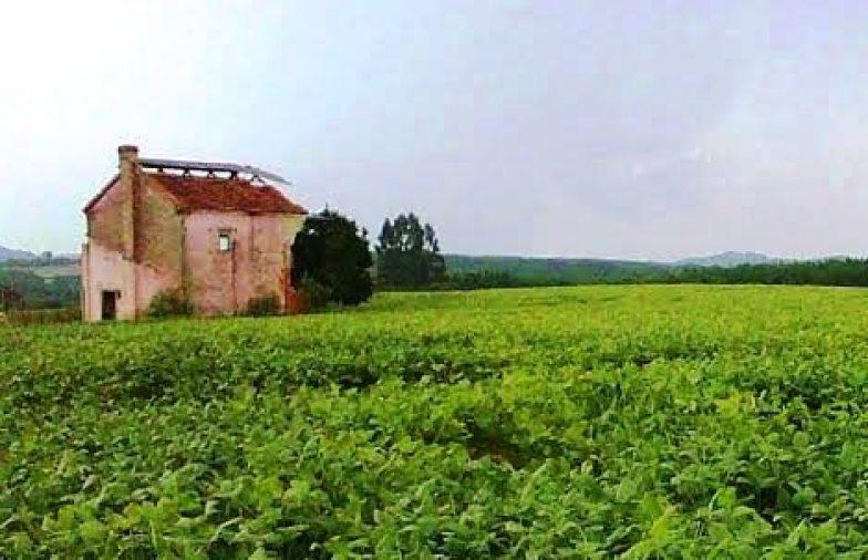 Na lavoura de soja do agricultor Luiz Maneira, de Irati - PR, resta apenas a lembrança da antiga cultura ali praticada: um galpão abandonado, onde era feita a secagem das folhas de fumo.