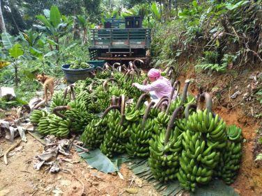 Produtores de banana do Vale do Ribeira aumentaram o número de pencas e a qualidade das frutas.