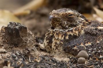 Nightjar credit: Wikipedia