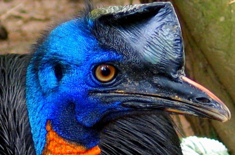 Casuarius_unappendiculatus_-Northern_Cassowary_-side_head
