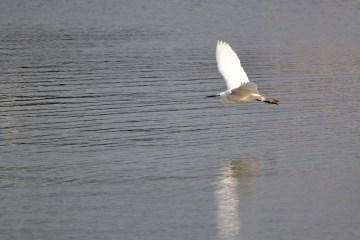 Little egret - © Dave Jones