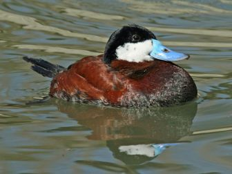 Ruddy duck - © Dick Daniels