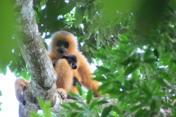 Hainan gibbon female with infant (c) Jessica Bryant ZSL