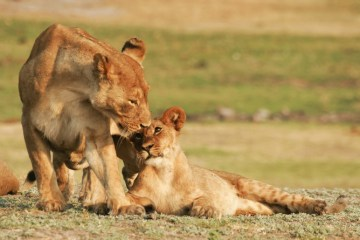 If genetics are not considered when translocating lions, their evolutionary line could be affected. Shutterstock