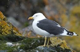 kelp gull 6926285392_0b2a6bd5aa_z Brian Gratwicke Flickr