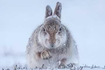 21. Rosamund Macfarlane, Snow hare