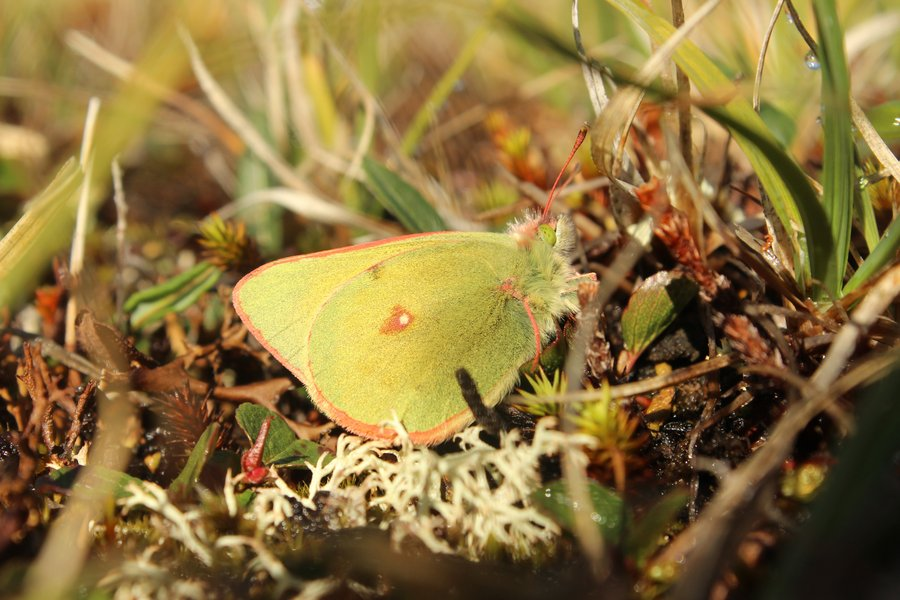 Northern clouded yellow (Colias hecla). Body size is strongly related to dispersal capacity and fecundity, and the results suggest that the Arctic species face severe challenges in response to ongoing rapid climate change.