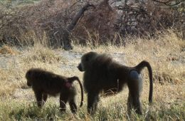 Baboons queue for food