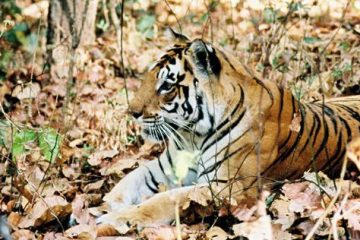 Global tiger increase reports inaccurate?