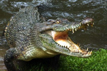The secret of the crocodile bite
