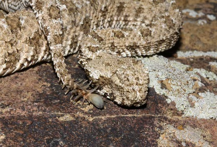 Spider-tailed viper