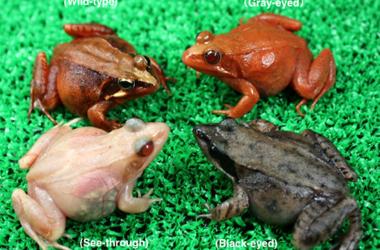 introducing the see through frogs bred by science