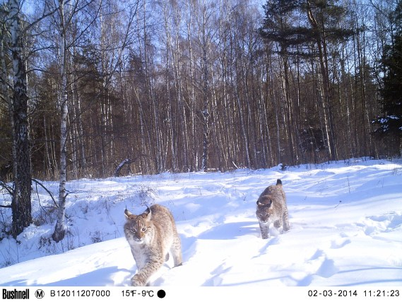 Eurasian lynx in the Chernobyl Exclusion Zone. Credit: TREE Project