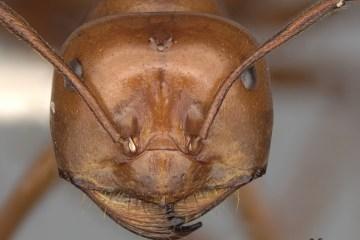 Desert ants UV compass