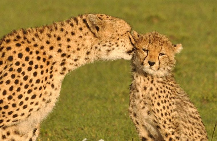 Cheetah conservation new approach
