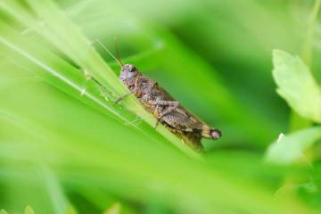 Rare grasshopper rediscovered