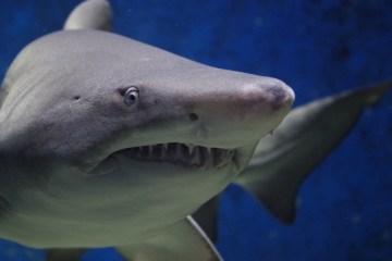 shark-674867_1920